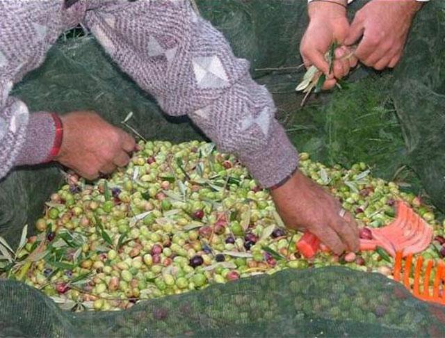 Oliven Caltabellotta Sizilien